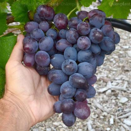Lorano stolový vinič modrý rezistentný veľmi skorý prostokorenný