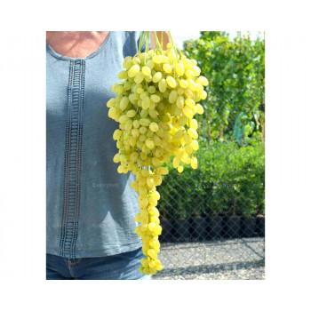 Lorus stolový vinič bezsemenný rezistentný prostokorenný