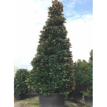 Galissoniere Magnolia Grandiflora veľkokvetá 200-250cm / C70L