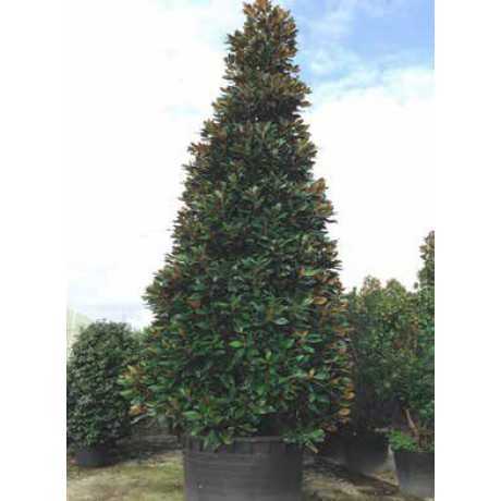 Galissoniere Magnolia Grandiflora veľkokvetá 200-250cm / C90L