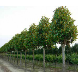 Galissoniere Magnolia Grandiflora veľkokvetá kmien..