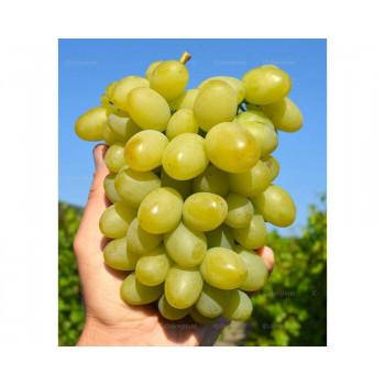 Marusja stolový vinič veľmi skorý rezistentný prostokorenný