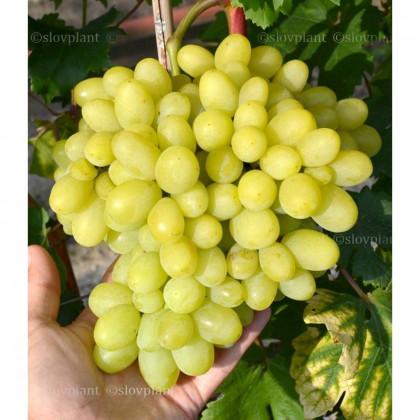 Milana stolový vinič rezistentný skorý prostokorenny
