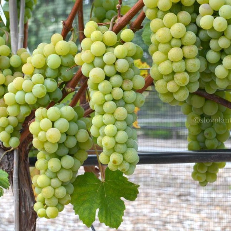 New York stolový vinič bezsemenný rezistentný prostokorenný