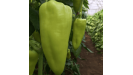 Capsico papriky semená