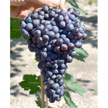 Pamjati Dombovskoj univerzálny vinič rezistentný bezsemenný prostokorenný