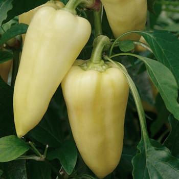 Patak F1 paprika sladká krásne pravidelné plody 250s