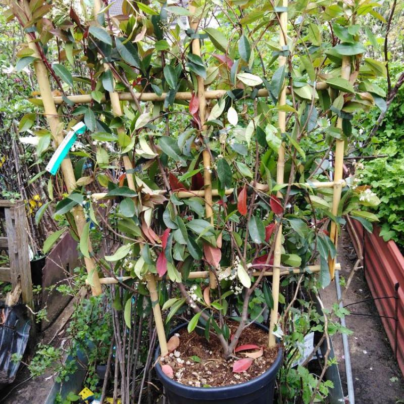 Photinia špalier Red Robin červienka 120x85cm/C18L