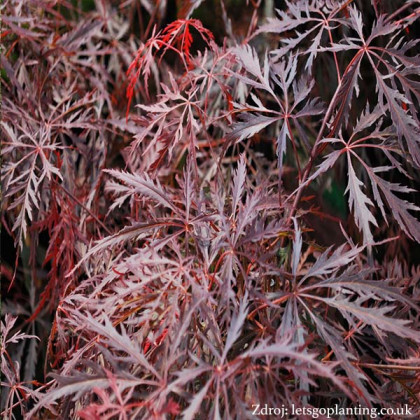 Garnet acer palmatum javor dlaňovitolistý C3L/ 30-40