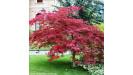 Acer palmatum javor dlaňovitolistý
