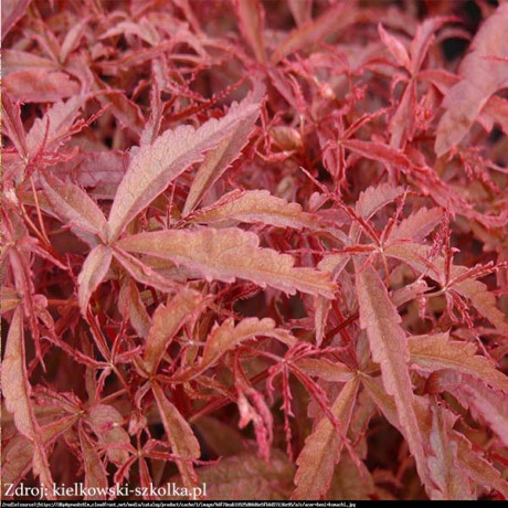 Beni-maiko acer palmatum javor dlaňovitolistý C3L/ 40-60