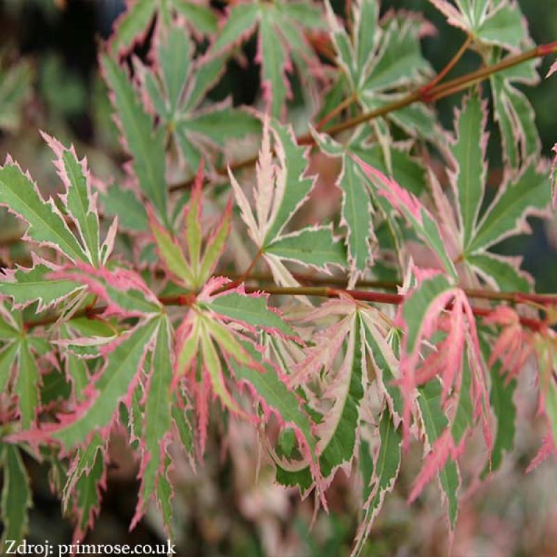 Butterfly acer palmatum javor dlaňovitolistý C3L/ 40-60