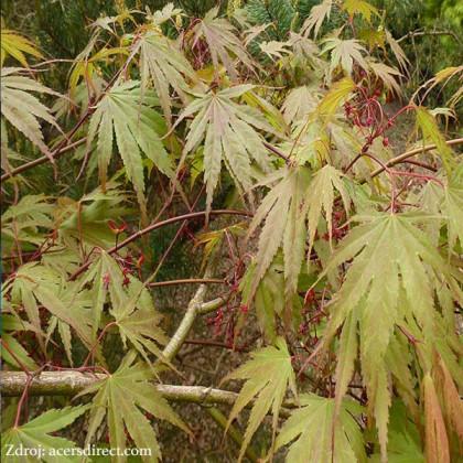 Chitoseyama acer palmatum javor dlaňovitolistý C3L/ 30-40