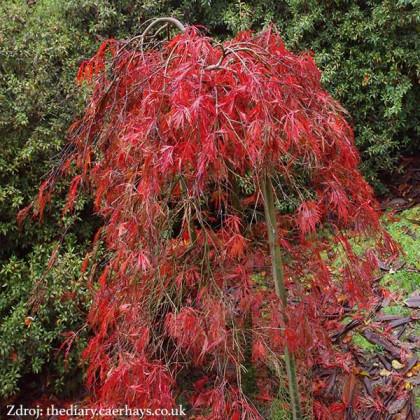 Crimson Queen acer palmatum javor dlaňovitolistý C3L/ 30-40
