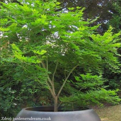 Emerald Lace acer palmatum javor dlaňovitolistý C3L/ 30-40