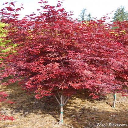 Fireglow acer palmatum javor dlaňovitolistý C3L/ 30-40