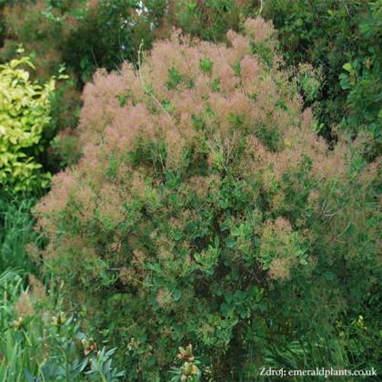 Cotinus coggygria škumpa C2L/ 40-50