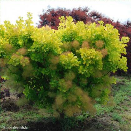 Golden Spirit / Ancot cotinus coggygria škumpa C3L/ 30-40