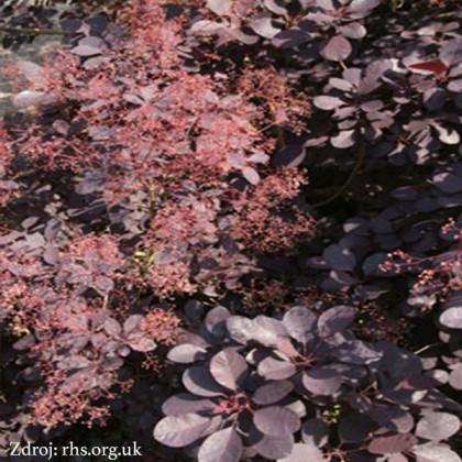 Rubrifolius Group cotinus coggygria škumpa C3L/ 40-50
