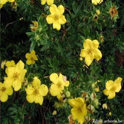 Goldstar potentilla fruticosa nátržník krovitý C1.5L/ 25-40