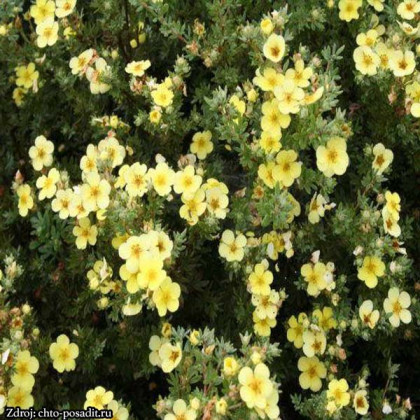 Katherine Dykes potentilla fruticosa nátržník krovitý C1.5L/ 25-40