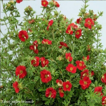 Red Lady potentilla fruticosa nátržník krovitý C1.5L/ 25-40
