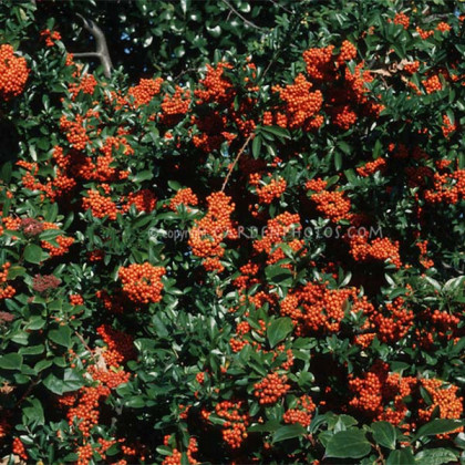 Mohave pyracantha coccinea hlohyňa C2L/ 30-40
