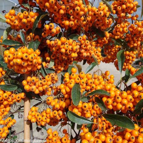 Orange Charmer pyracantha coccinea hlohyňa C2L/ 30-40