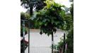 Quercus Dub