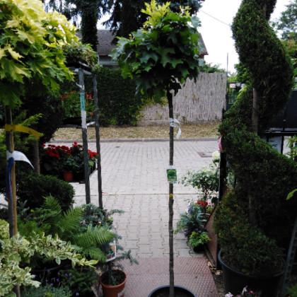 Green Dwarf Quercus kontajner / kmienik 150 cm