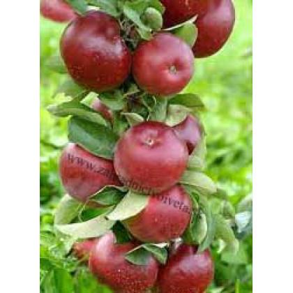 Red Spring  jabloň stĺpovitá zimná prostokorenná