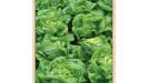 Šaláty semená chemicky neošetrené