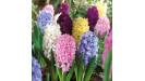 Hyacinty cibule rôzne farby zmesi