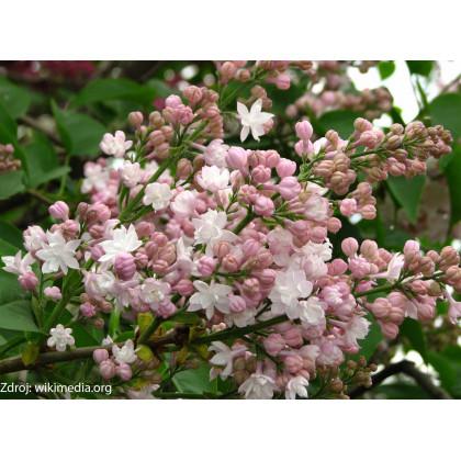 Beauty of Moscow syringa vulgaris orgován C5L/ 50-60