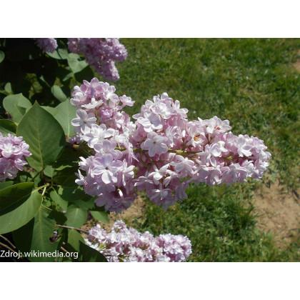 Belle de Nancy syringa vulgaris orgován C5/ 50-60