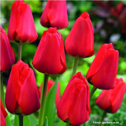 Apeldoorn tulipán klasický červený 7ks bal.