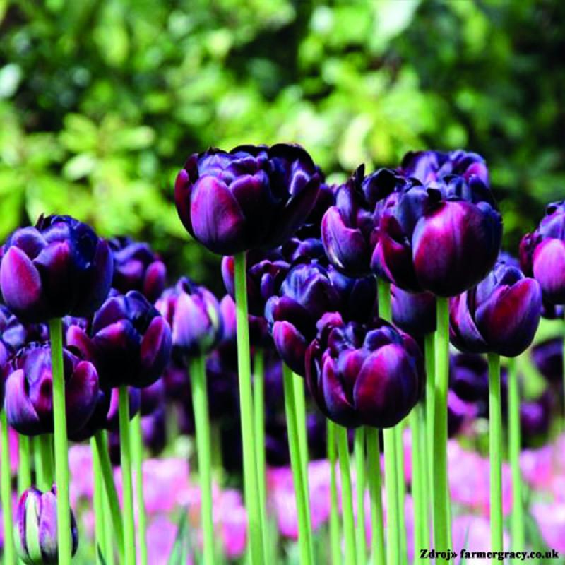 Black Hero tulipán veľký tmavo fialový 7ks bal.