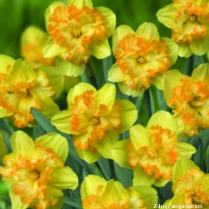 Blazing Starlet narcis dekoratívne vlnité kalíšky 5ks