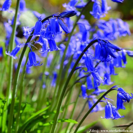 Blue Bell hyacint 3ks