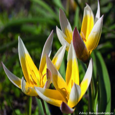 Botanická zmes tulipánov 6 ks