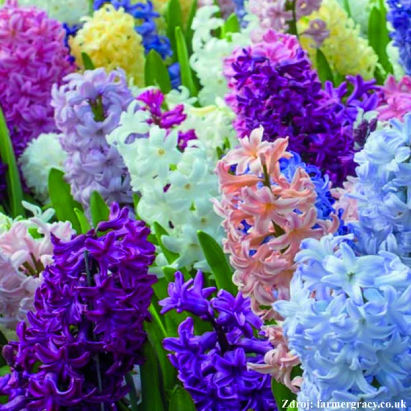 Hyacinty mix zmeska farbí 9ks