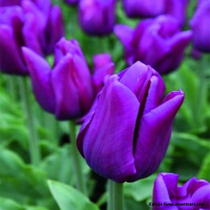 Passionale tulipán sýto ružový 10ks bal.
