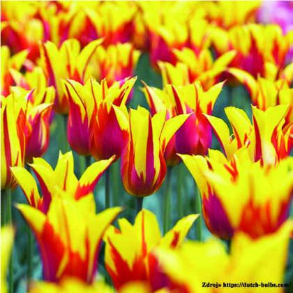 Fire Wings tulipán červeno žltý ľaliokvetý 7ks bal.