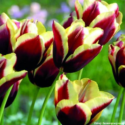 Gavota tulipán žlto fialový 6ks bal.