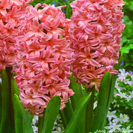 Gypsy Queen hyacint 3ks