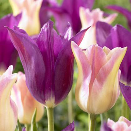 Lilac Dreams tulipán mix fialové ružovo-biele 7ks bal.