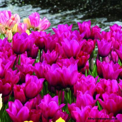 Night Club tulipán ružový 7ks bal.