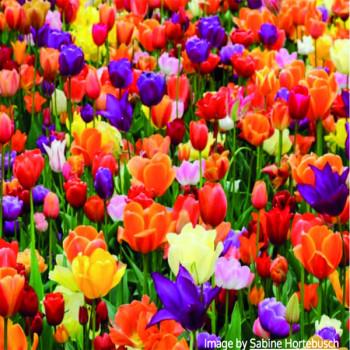 Balkonové tulipány zmes 17ks