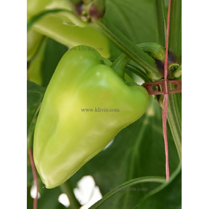 Twin paprika sladká odolná 250 semien