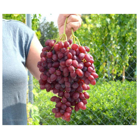 Veles stolový vinič bezsemenný ružový kontajner C2L / 80-100cm